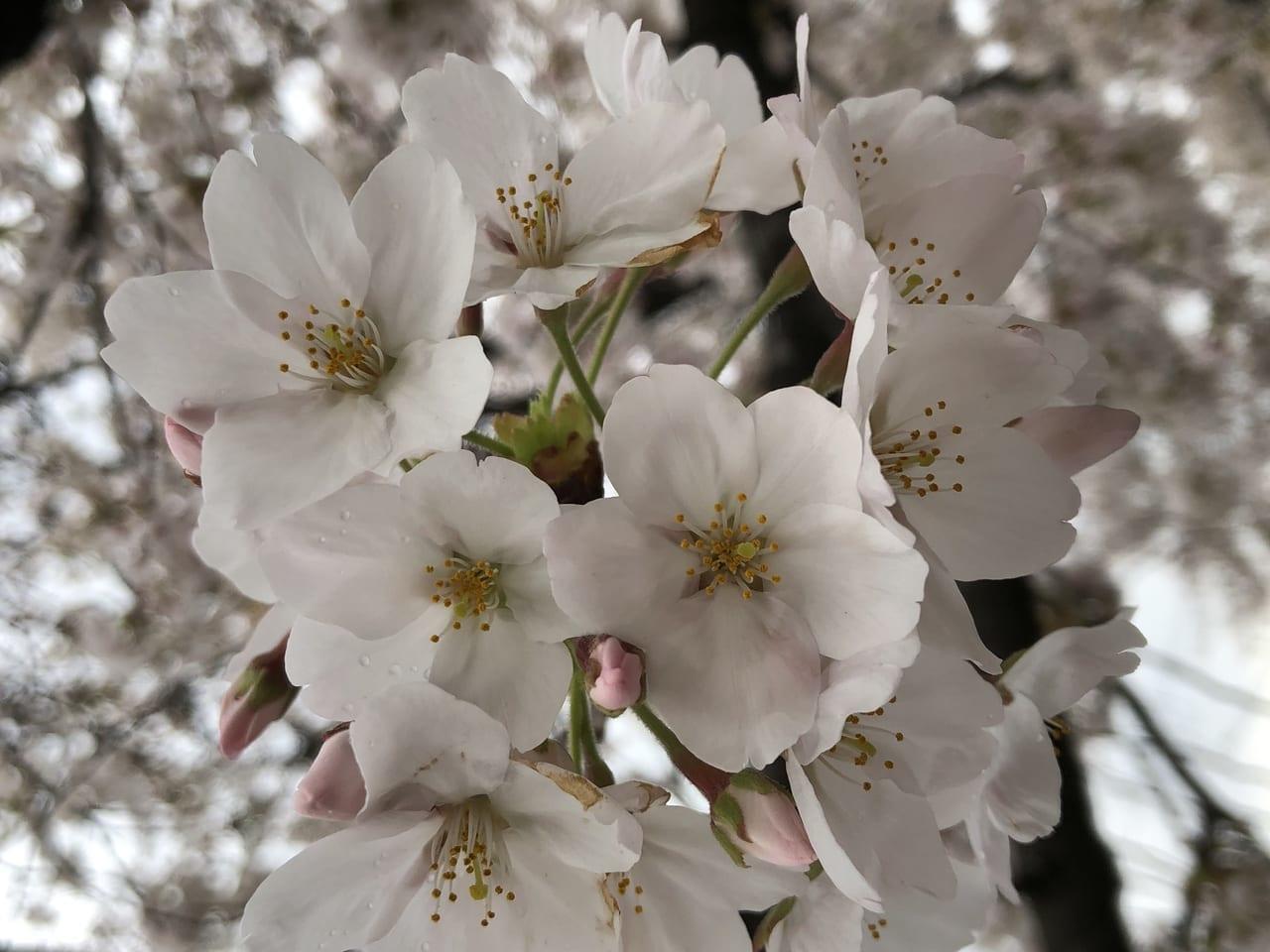 上尾市伊奈町桜